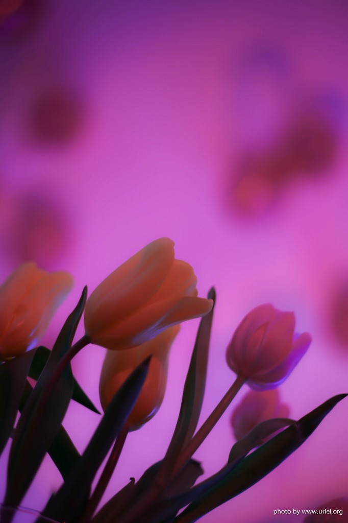 Tulips pink background